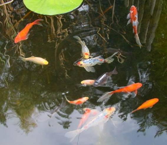 Www for Welche fische passen zu kois